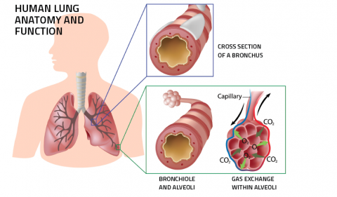 Anatomy of the lungs. Illustration: shutterstock.com / Alila Medical Media
